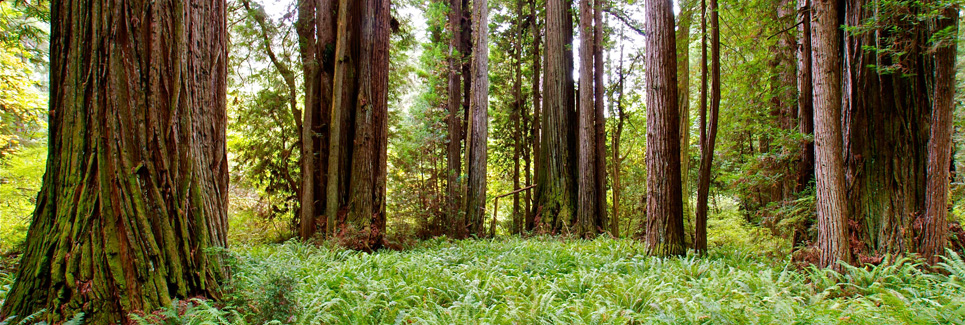 redwoods_965